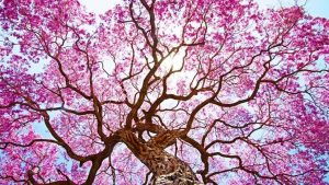 Ipe Lapacho Baum